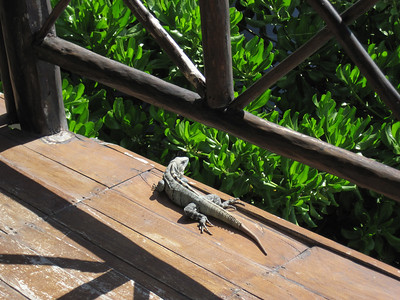 Estaban, our guard iguana